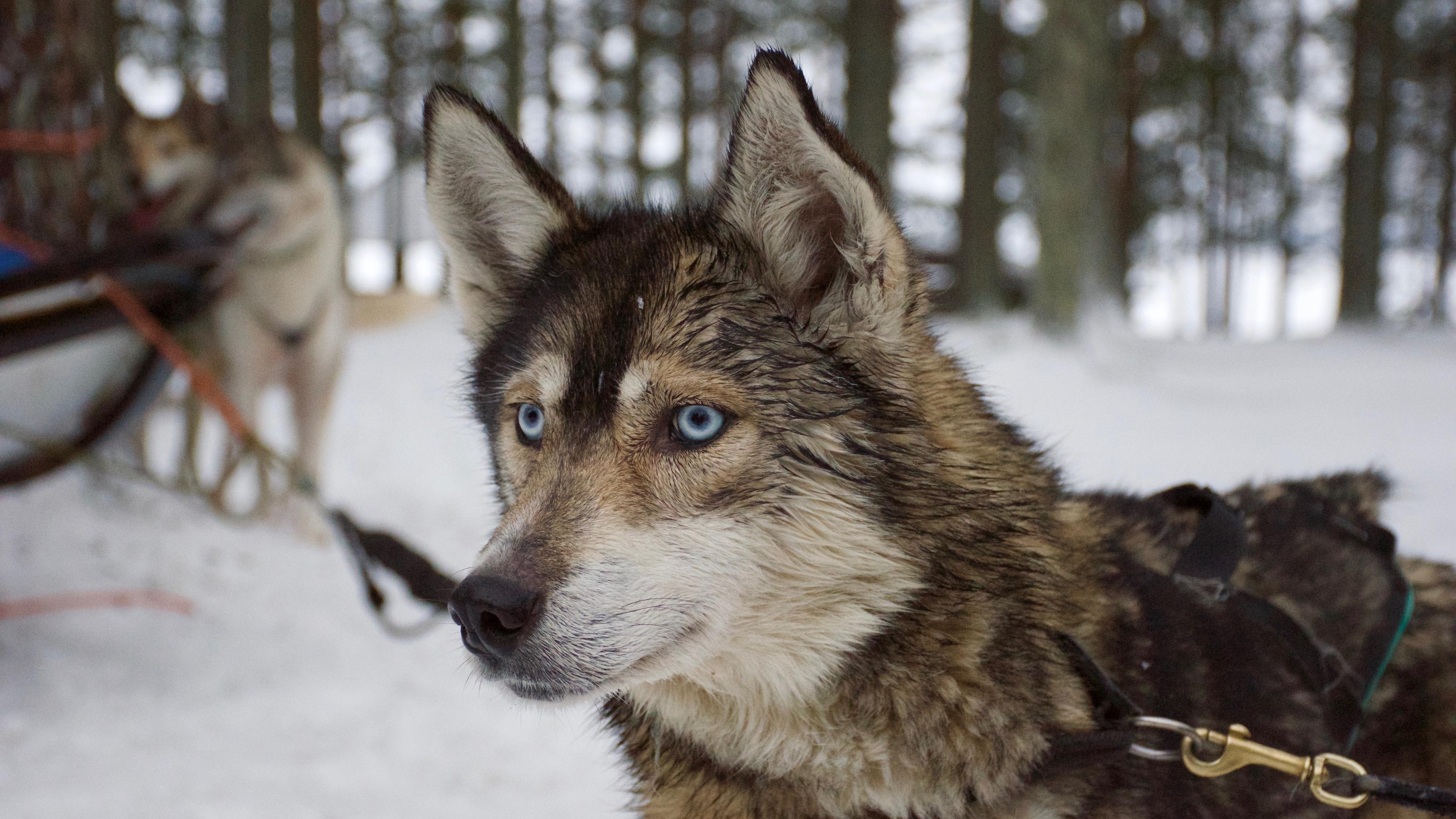 husky muzzle dog blue eyed 4k 1542241981 - husky, muzzle, dog, blue-eyed 4k - muzzle, husky, Dog