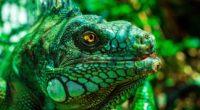 iguana eyes reptile 4k 1542241922 200x110 - iguana, eyes, reptile 4k - reptile, iguana, Eyes