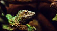 iguana lizard reptile muzzle 4k 1542241366 200x110 - iguana, lizard, reptile, muzzle 4k - reptile, Lizard, iguana