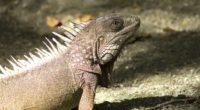 iguana reptile shadow 4k 1542242968 200x110 - iguana, reptile, shadow 4k - Shadow, reptile, iguana