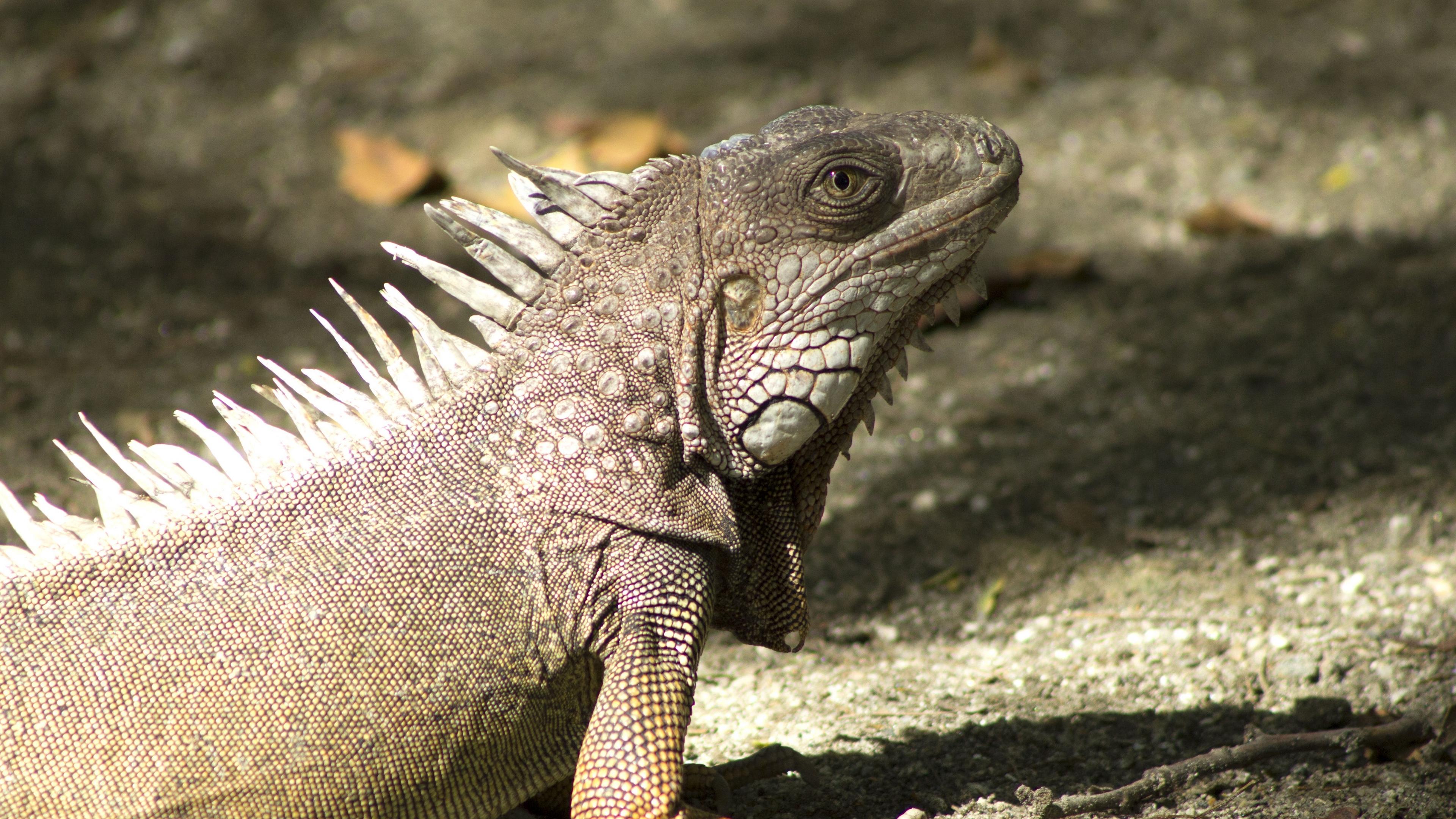 iguana reptile shadow 4k 1542242968 - iguana, reptile, shadow 4k - Shadow, reptile, iguana
