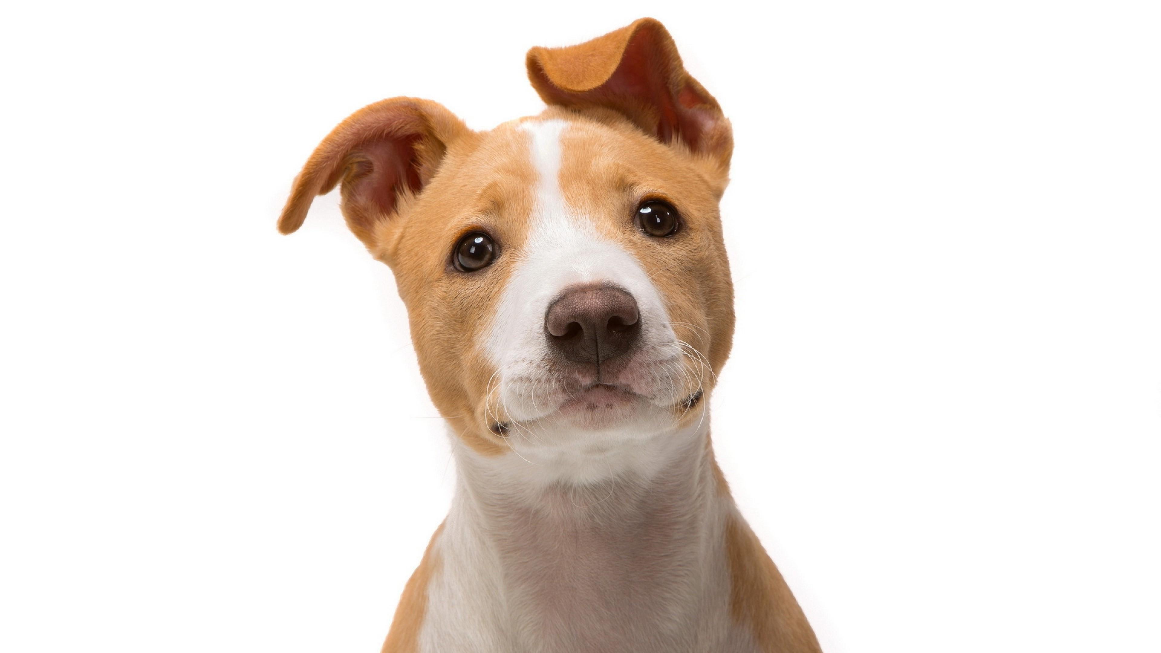 jack russell terrier 4k 1542237711 - Jack Russell Terrier 4k - pug wallpapers, jack russell terrier wallpapers, dog wallpapers, animals wallpapers