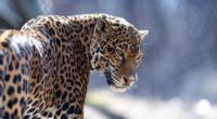 jaguar big cat predator look 4k 1542242810 200x110 - jaguar, big cat, predator, look 4k - Predator, Jaguar, big cat