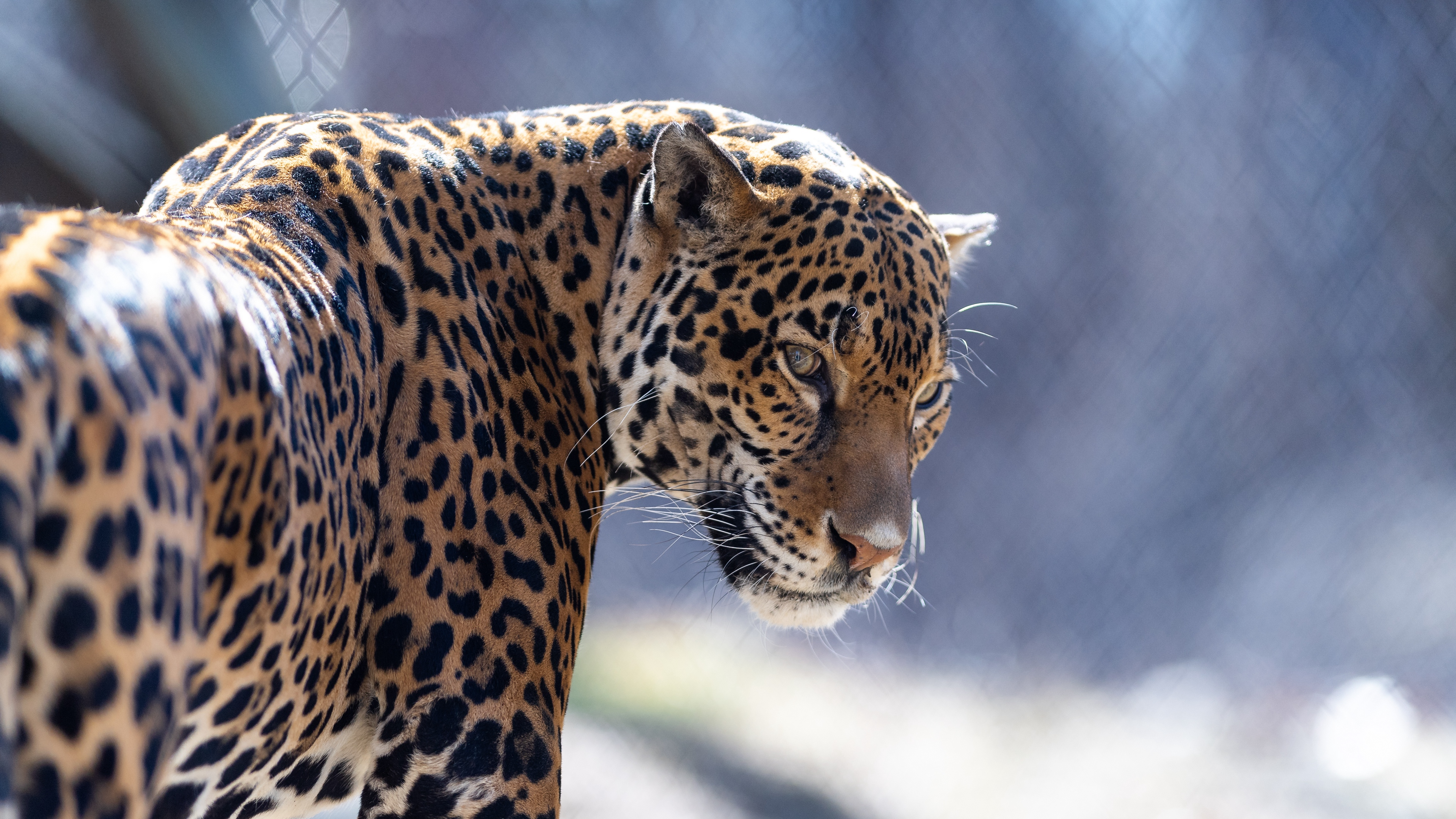 jaguar big cat predator look 4k 1542242810 - jaguar, big cat, predator, look 4k - Predator, Jaguar, big cat