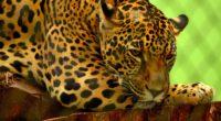 jaguar predator lying muzzle 4k 1542242485 200x110 - jaguar, predator, lying, muzzle 4k - Predator, Lying, Jaguar