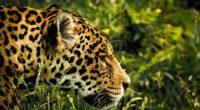 jaguar wild 1542238393 200x110 - Jaguar Wild - jaguar wallpapers, hd-wallpapers, animals wallpapers, 4k-wallpapers