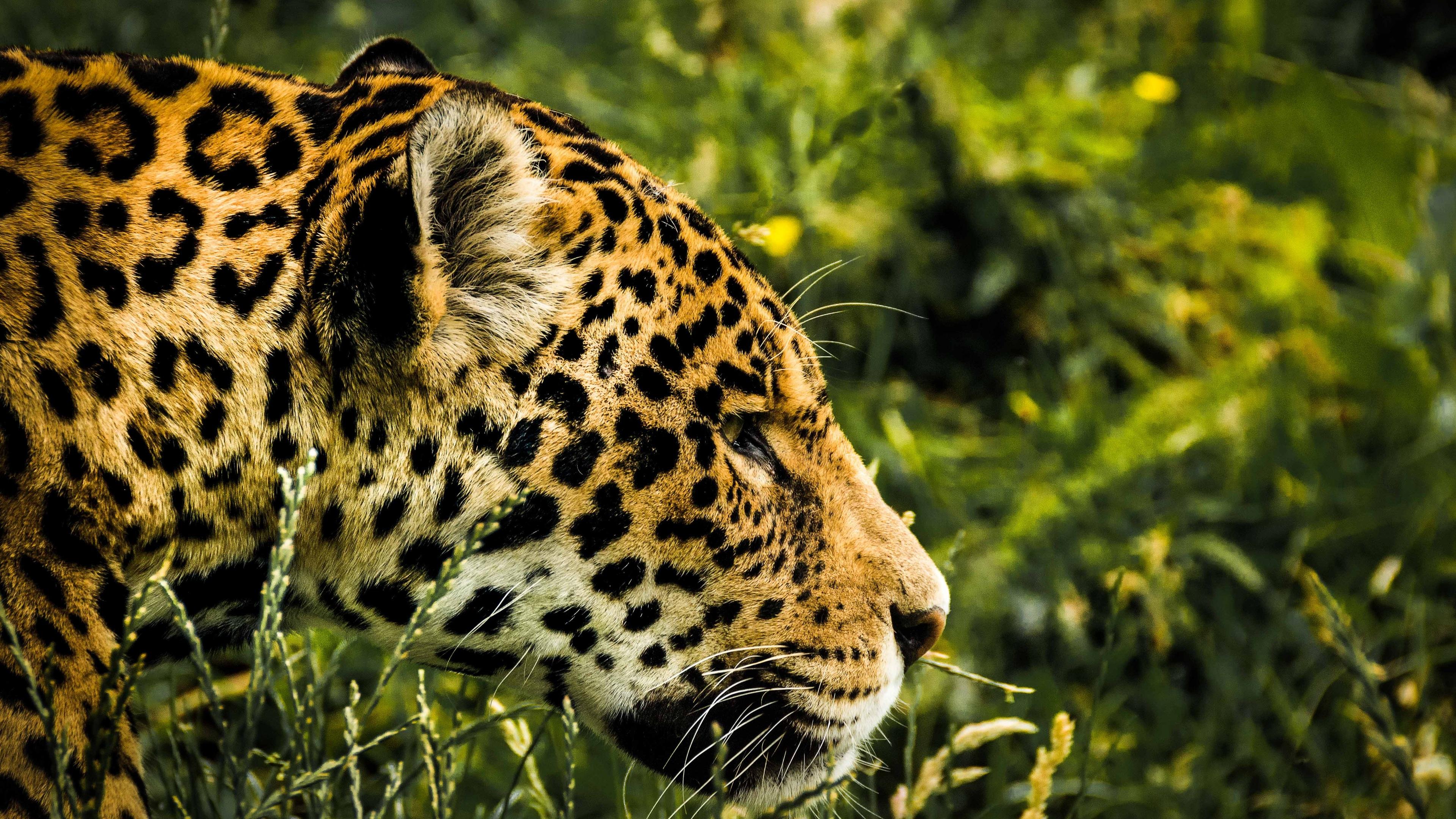 jaguar wild 1542238393 - Jaguar Wild - jaguar wallpapers, hd-wallpapers, animals wallpapers