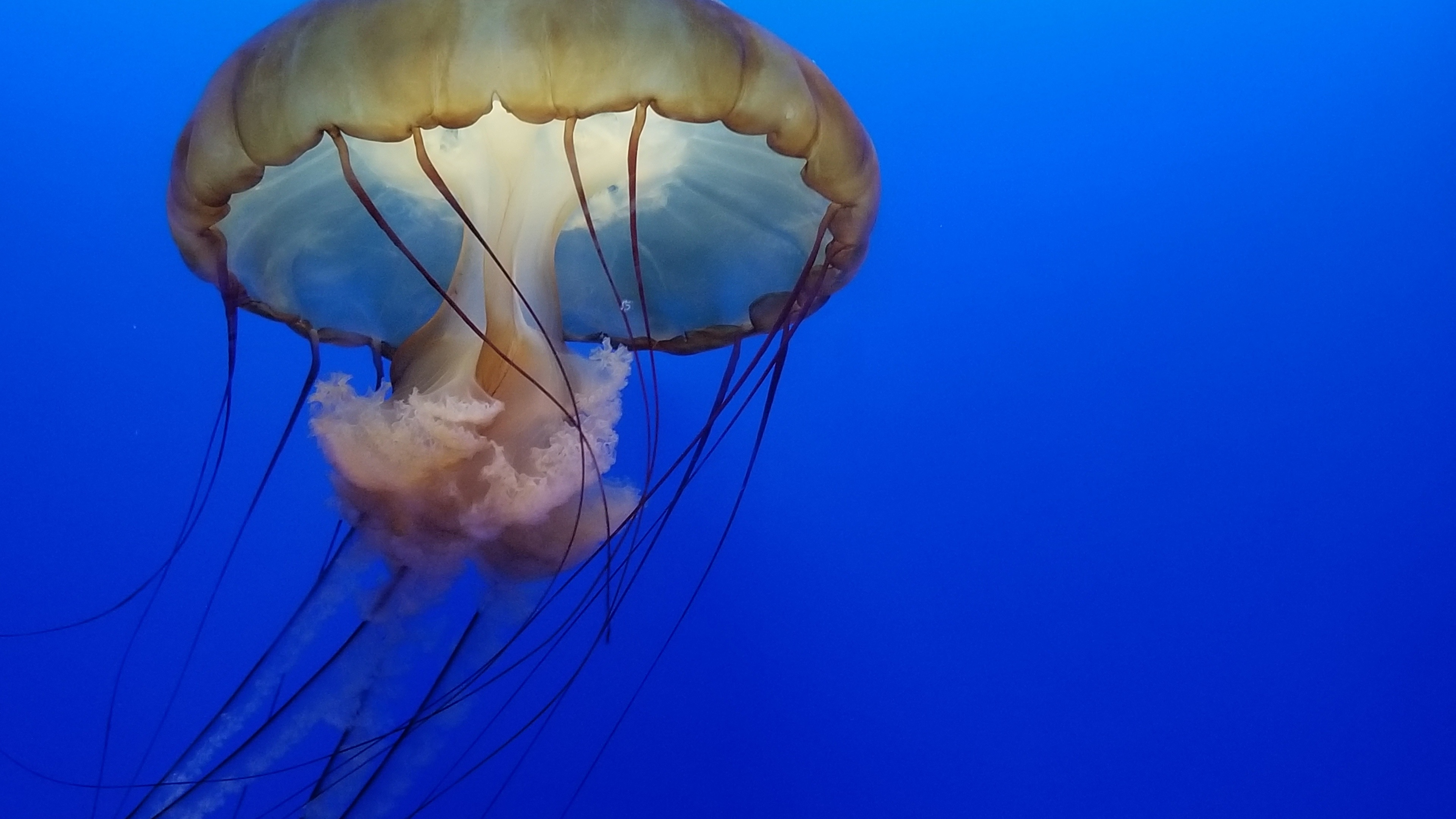 jellyfish underwater 4k 1542238870 - Jellyfish Underwater 4k - underwater wallpapers, jellyfish wallpapers, hd-wallpapers, 4k-wallpapers