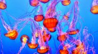 jellyfish underwater swimming 4k 1542241672 200x110 - jellyfish, underwater, swimming 4k - Underwater, swimming, Jellyfish