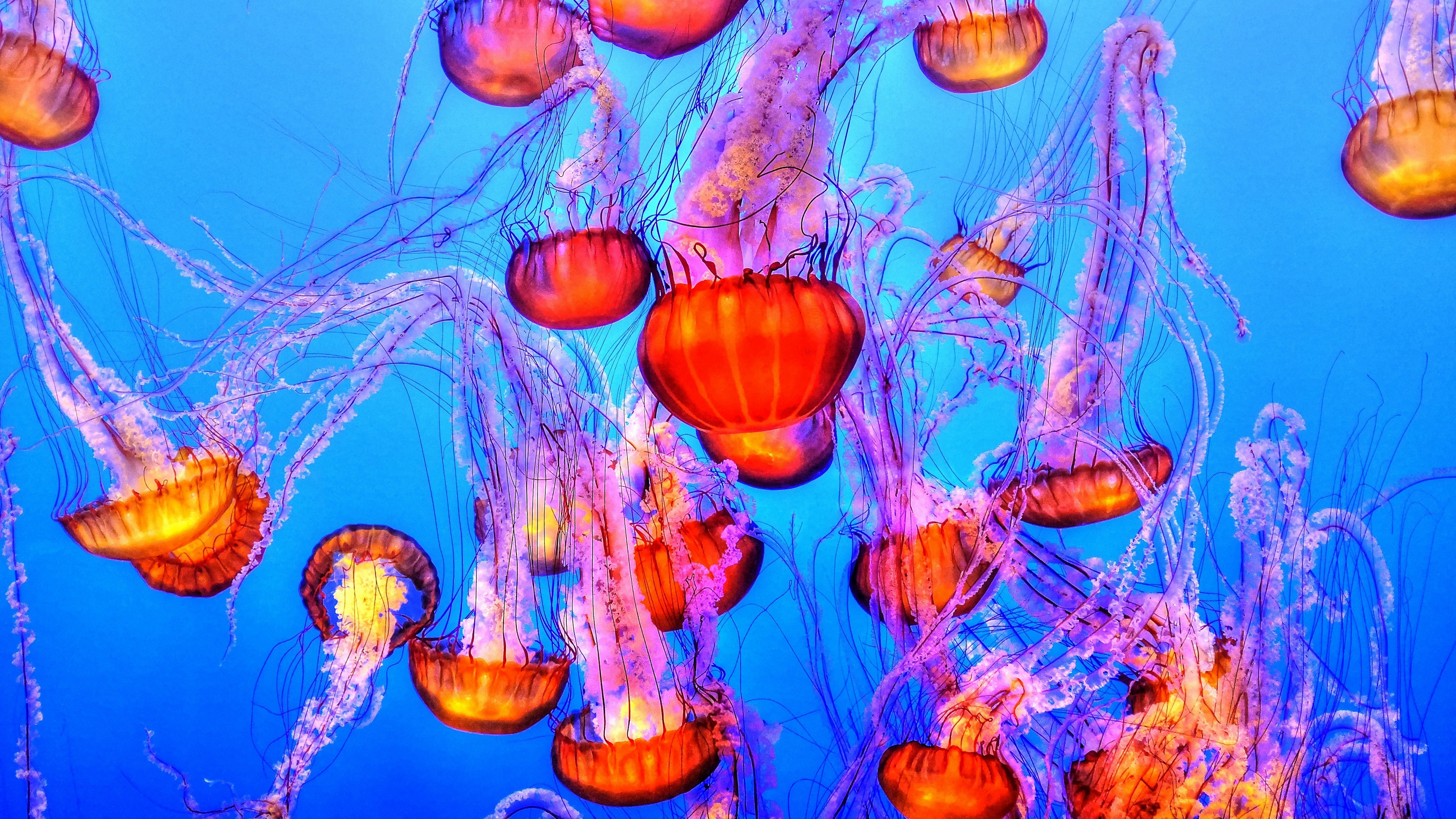 Wallpaper 4k Jellyfish Underwater Swimming 4k Jellyfish Swimming Underwater