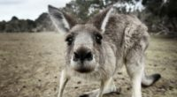 kangaroo funny 4k 1542237752 200x110 - Kangaroo Funny 4k - kangaroo wallpapers, funny wallpapers, animals wallpapers