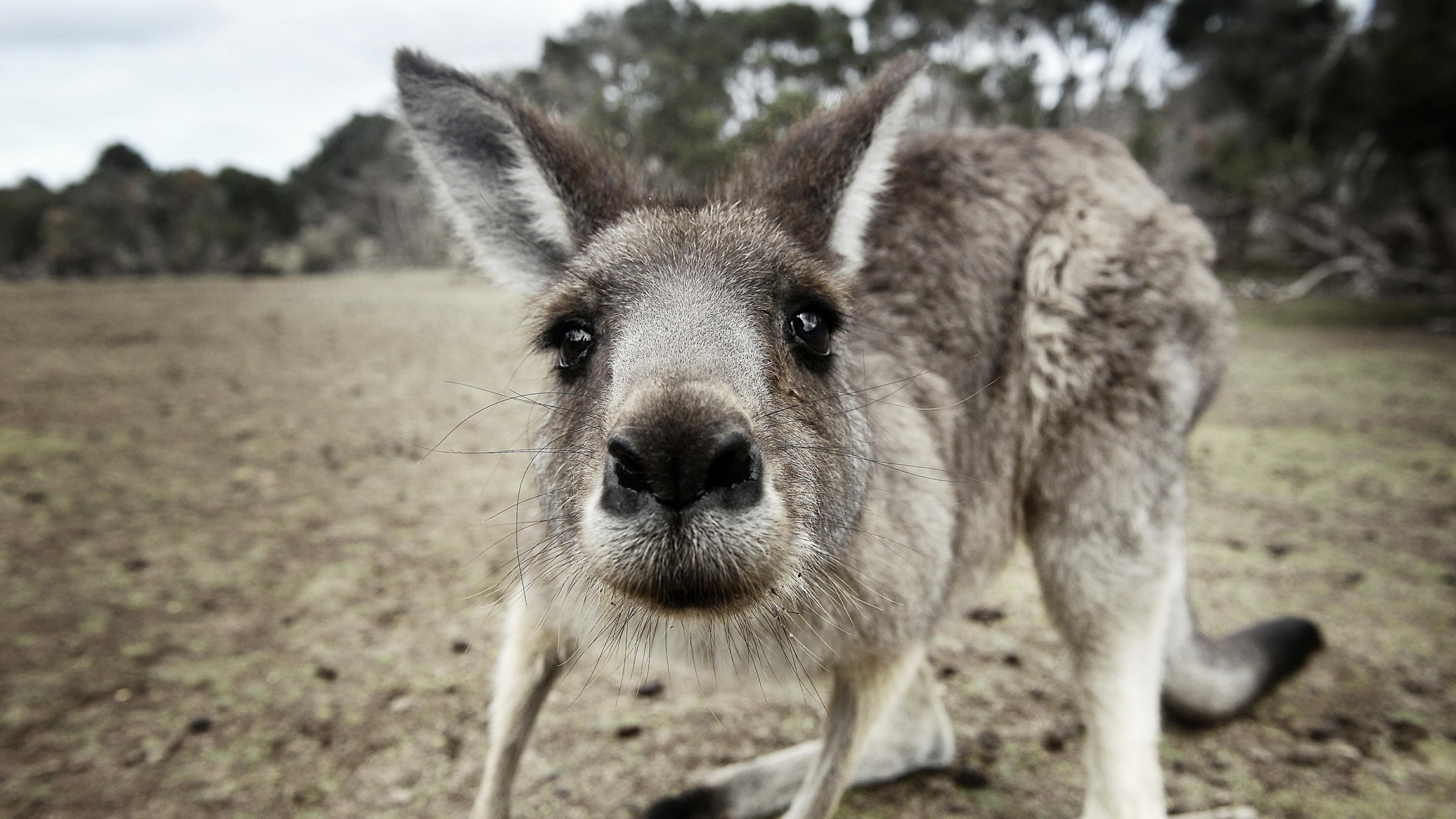 kangaroo funny 4k 1542237752 - Kangaroo Funny 4k - kangaroo wallpapers, funny wallpapers, animals wallpapers