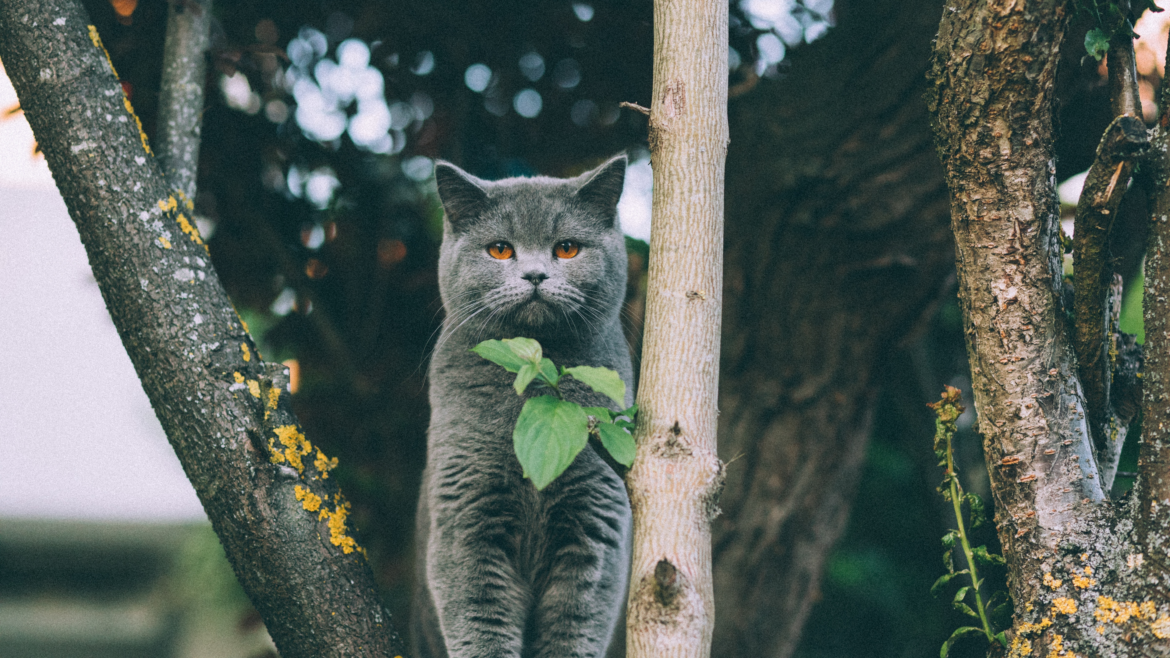 kitten british cat leaves 4k 1542242014 - kitten, british, cat, leaves 4k - Kitten, Cat, British