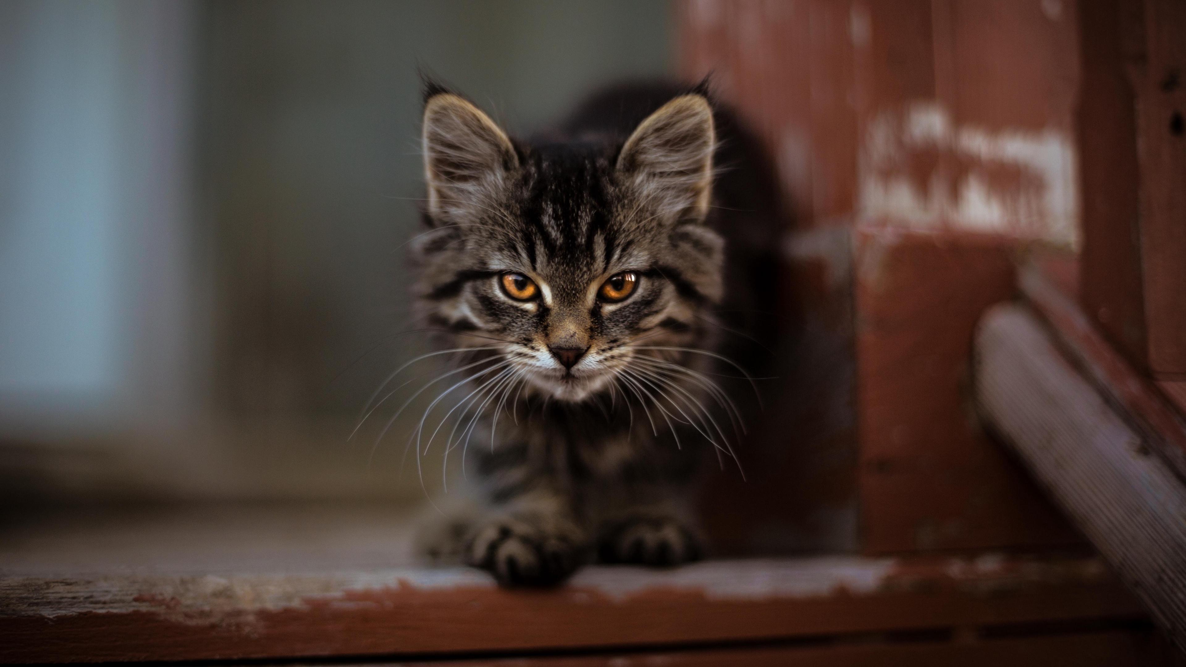 kitty cat fluffy cute 4k 1542242536 - kitty, cat, fluffy, cute 4k - Kitty, fluffy, Cat