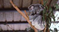 koala eucalyptus tree sleep 4k 1542241447 200x110 - koala, eucalyptus, tree, sleep 4k - tree, koala, Eucalyptus