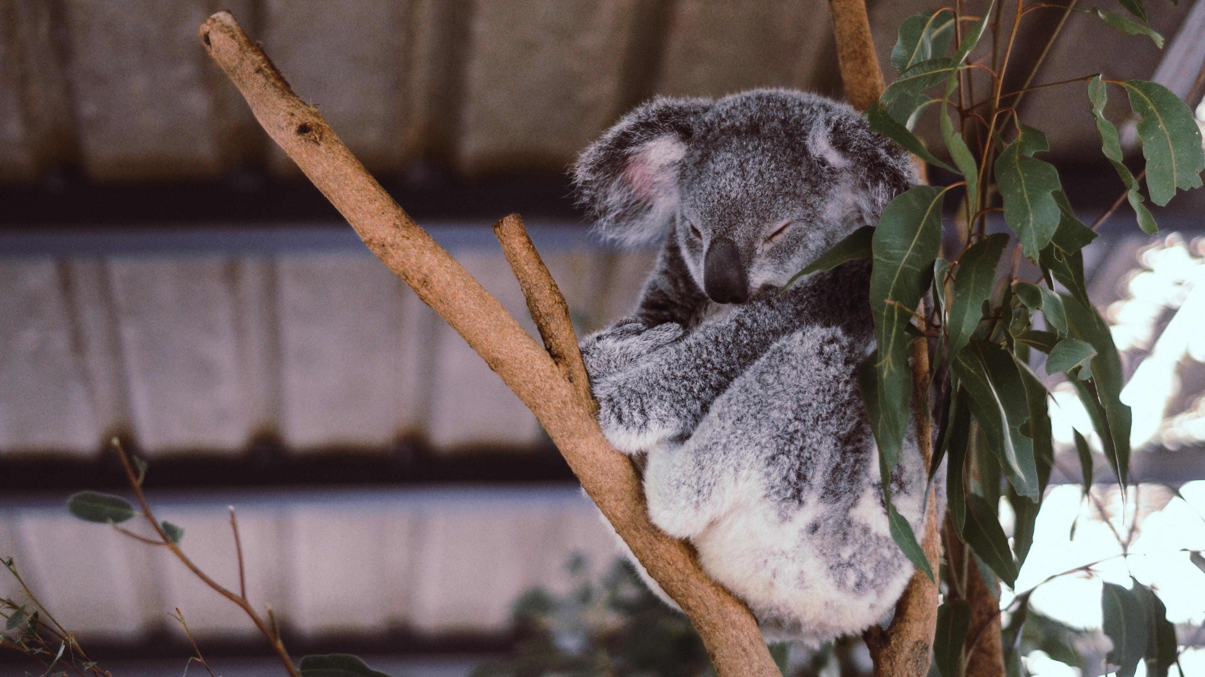 koala eucalyptus tree sleep 4k 1542241447 - koala, eucalyptus, tree, sleep 4k - tree, koala, Eucalyptus