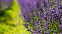 lavender flowers lilac summer 4k 1541114010 200x110 - lavender, flowers, lilac, summer 4k - Lilac, Lavender, Flowers