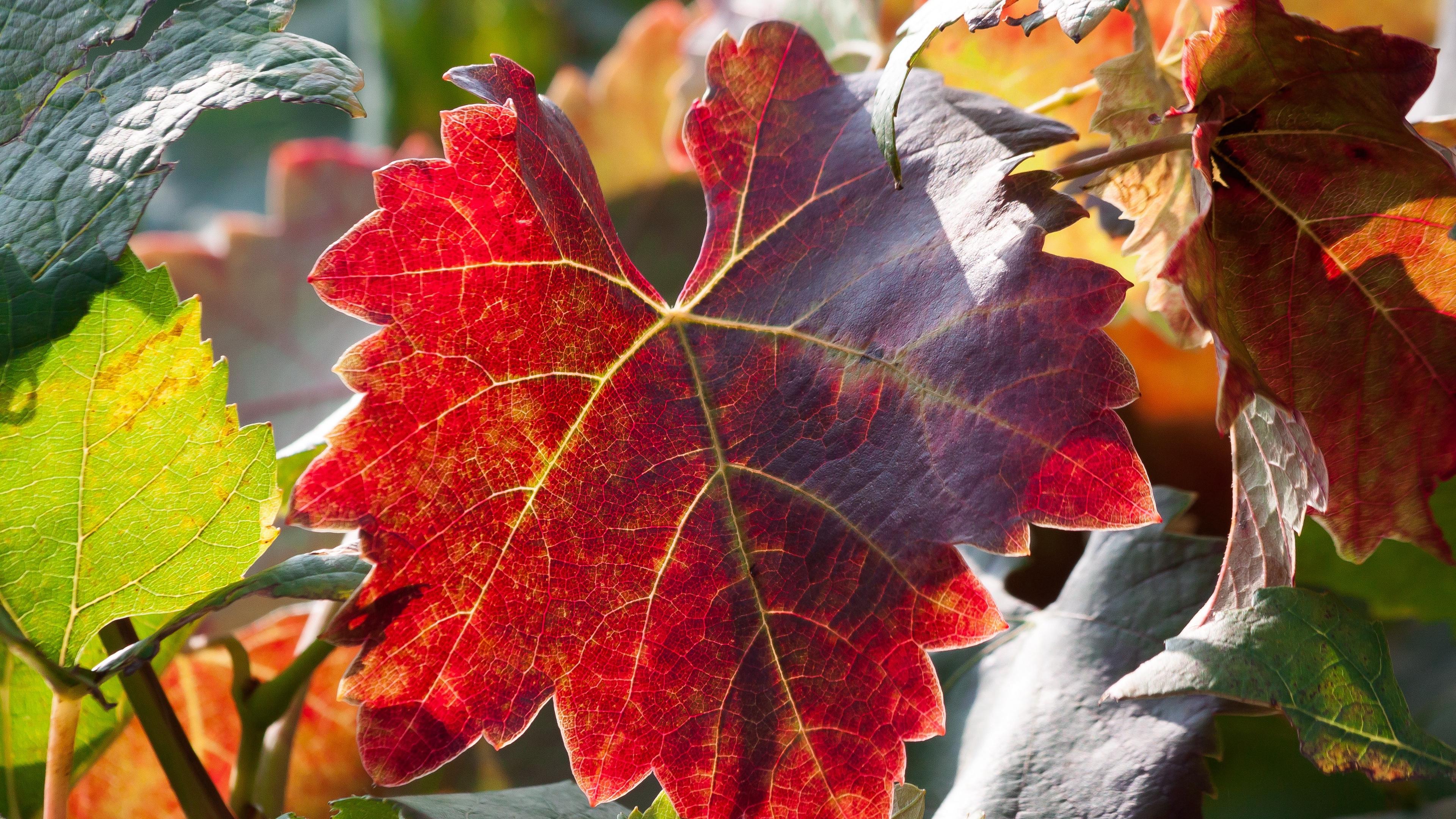 leaf autumn vines branches 4k 1541117875 - leaf, autumn, vines, branches 4k - vines, leaf, Autumn