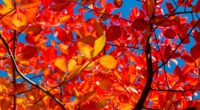 leaves branches autumn sunny 4k 1541115401 200x110 - leaves, branches, autumn, sunny 4k - Leaves, branches, Autumn