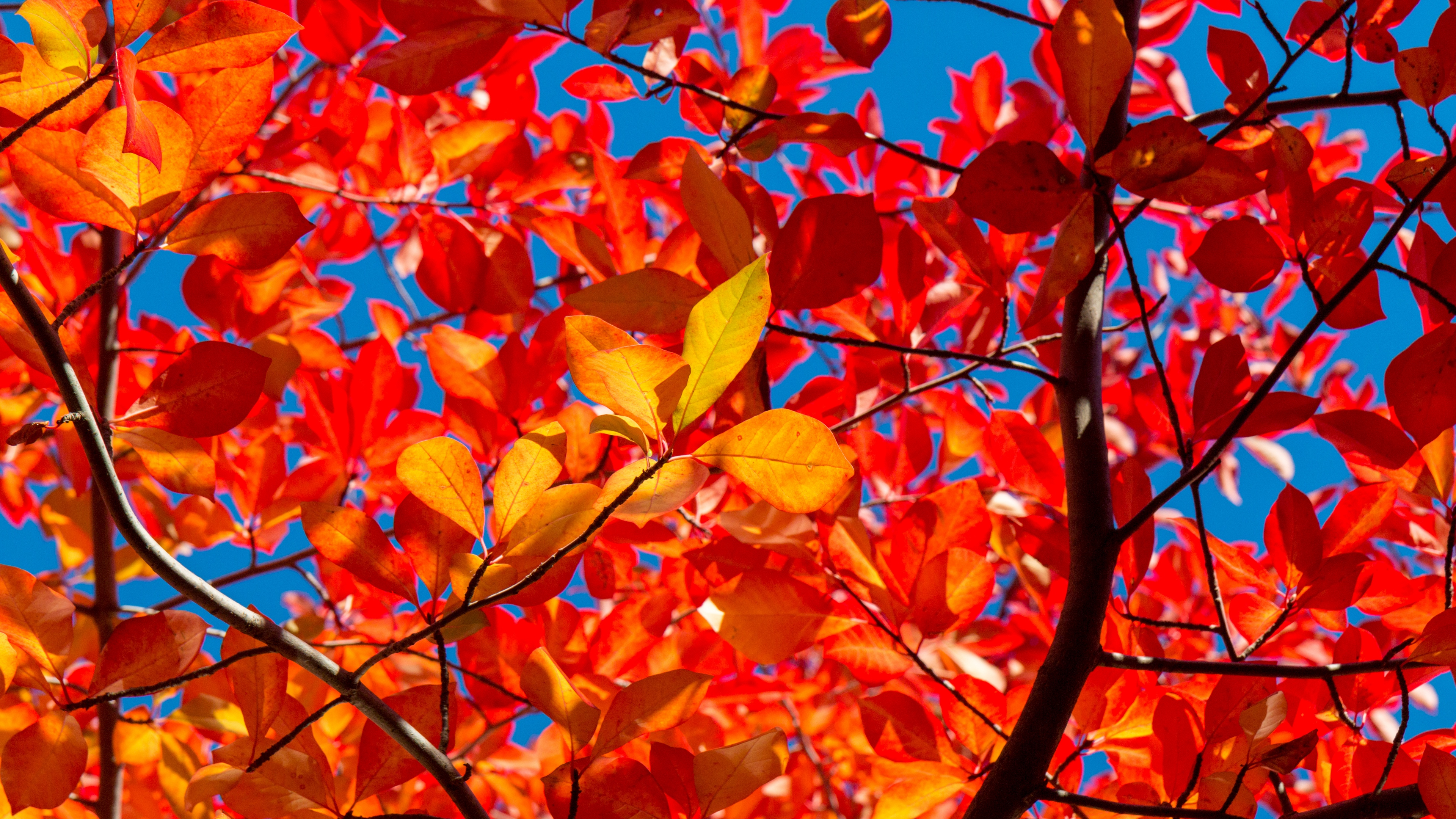 leaves branches autumn sunny 4k 1541115401 - leaves, branches, autumn, sunny 4k - Leaves, branches, Autumn