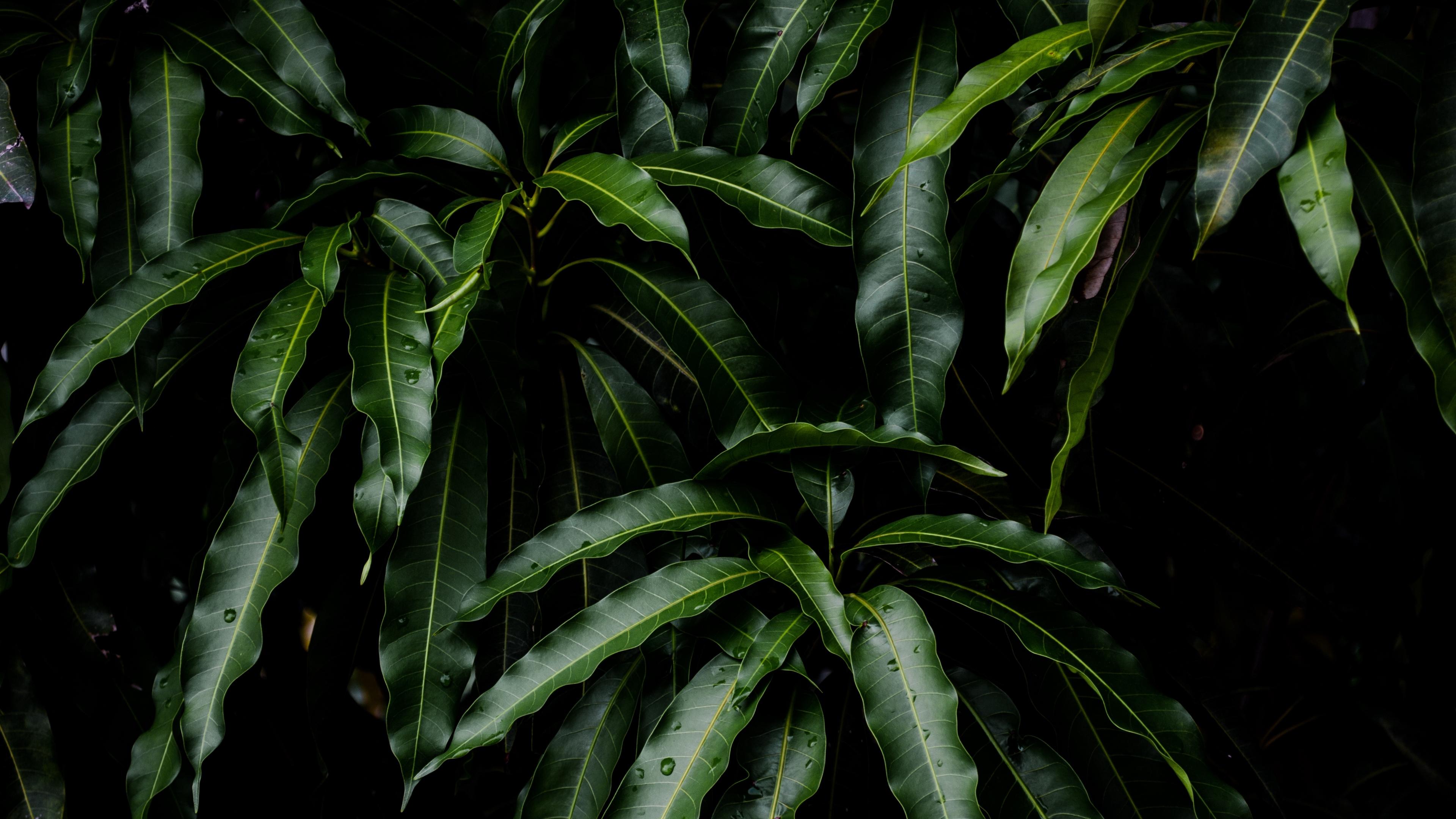 leaves green plant mango 4k 1541113461 - leaves, green, plant, mango 4k - Plant, Leaves, green