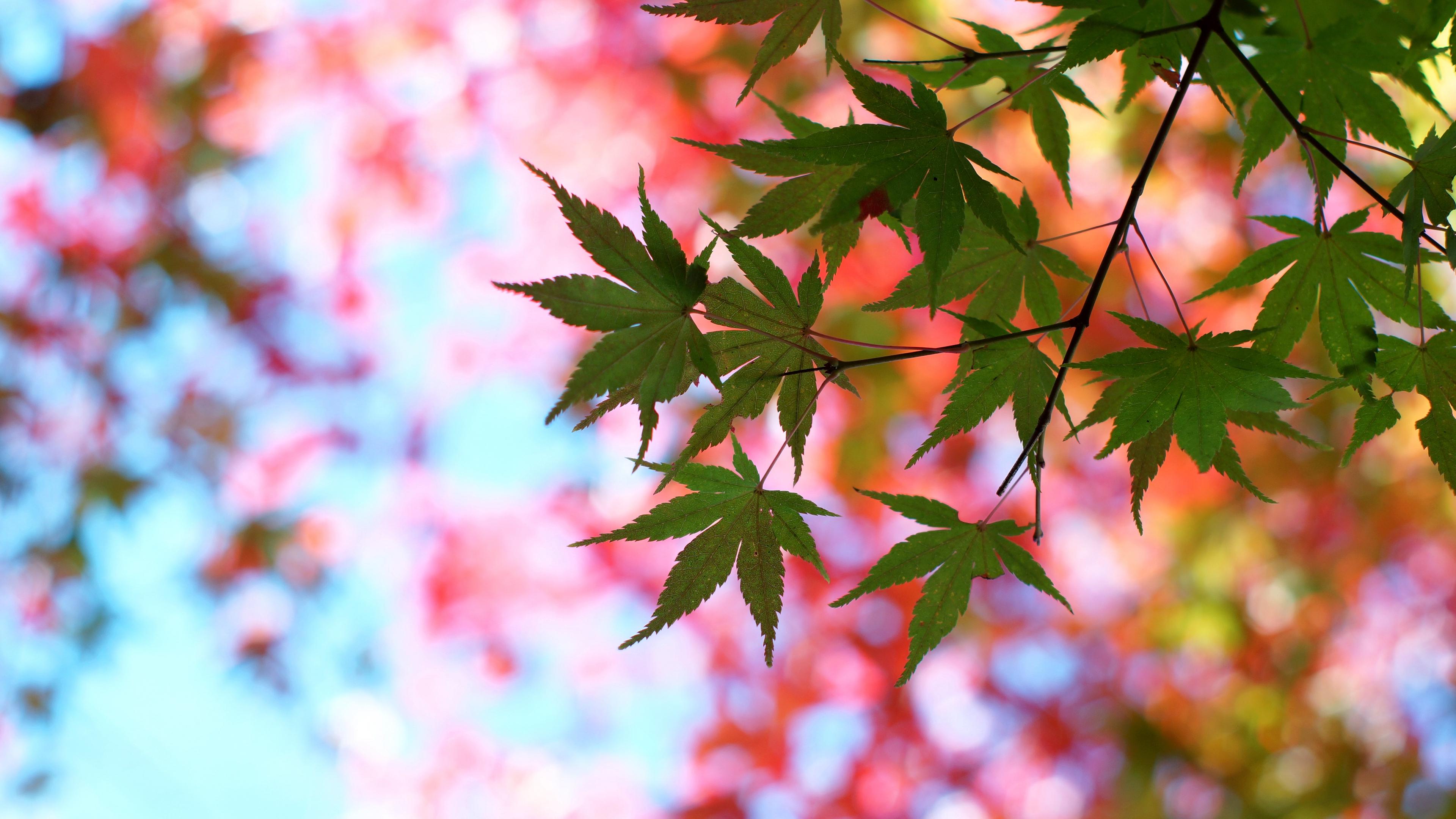 leaves maple glare branch tree summer 4k 1541116080 - leaves, maple, glare, branch, tree, summer 4k - Maple, Leaves, glare