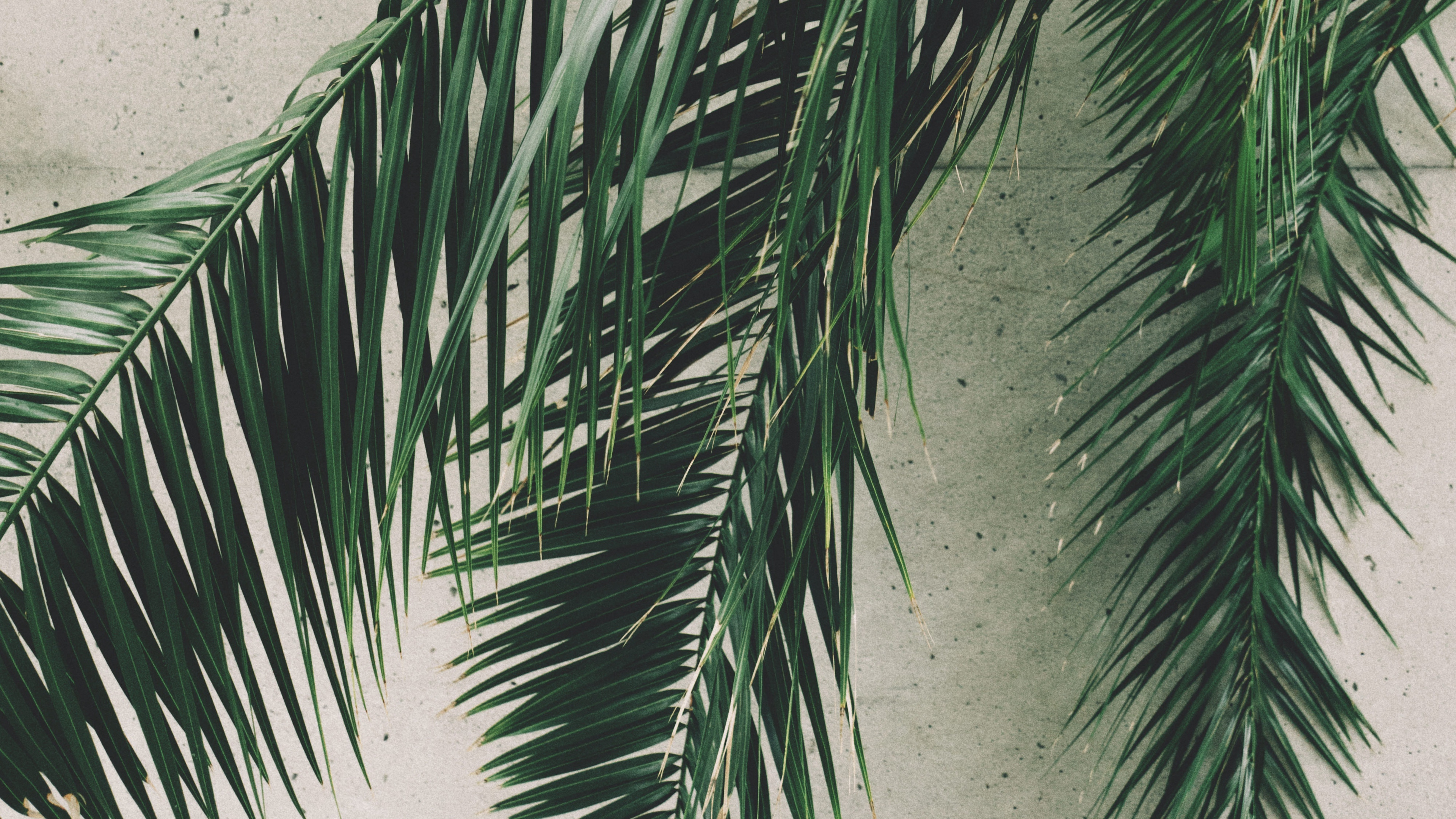 leaves palm branches wall 4k 1541116806 - leaves, palm, branches, wall 4k - Palm, Leaves, branches