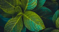 leaves plant carved green 4k 1541116962 200x110 - leaves, plant, carved, green 4k - Plant, Leaves, carved