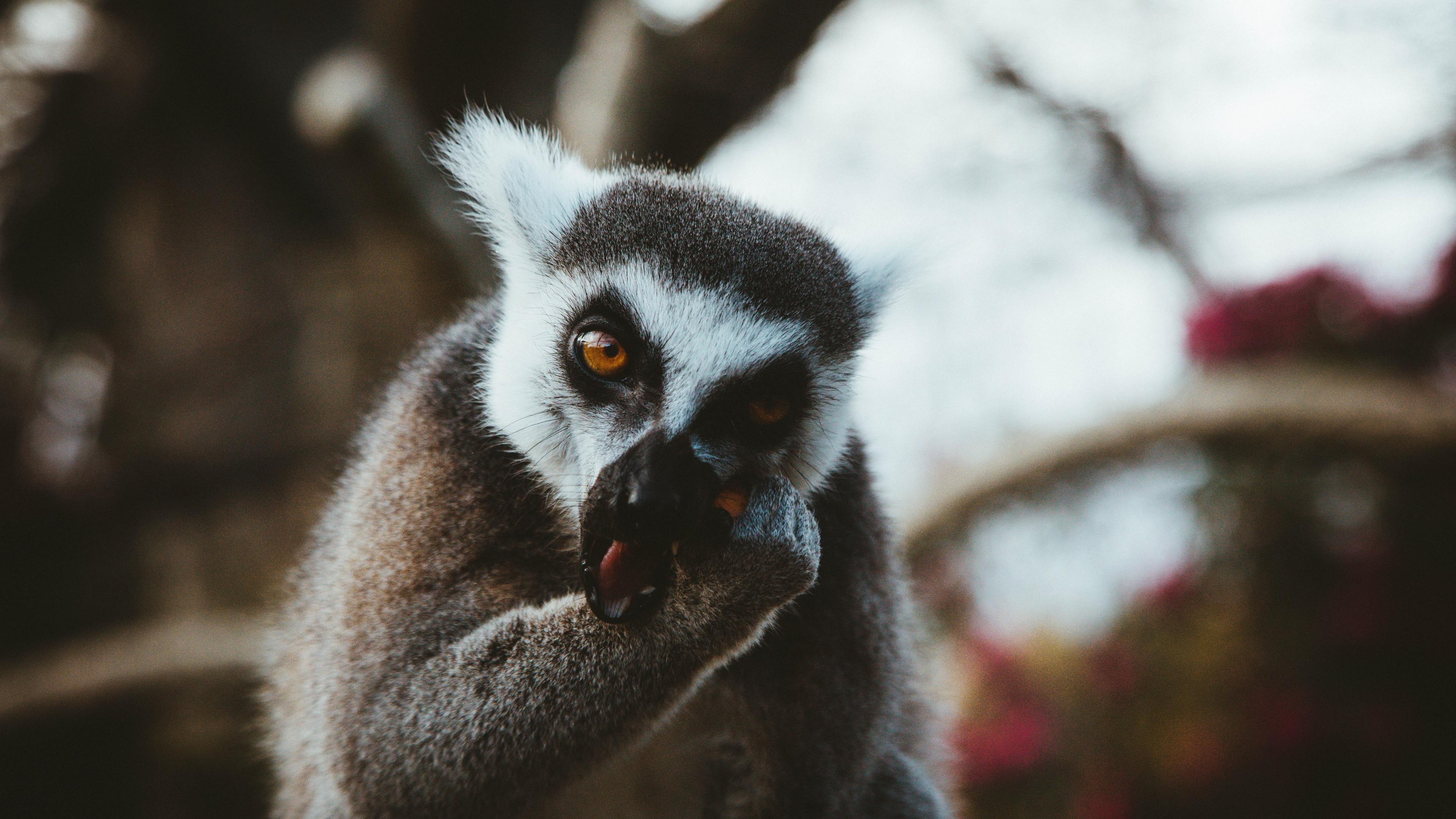 lemur animal muzzle eat 4k 1542242787 - lemur, animal, muzzle, eat 4k - muzzle, lemur, Animal