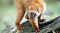lemur blue eyes twigs moss 4k 1542242576 200x110 - lemur, blue eyes, twigs, moss 4k - twigs, lemur, blue eyes