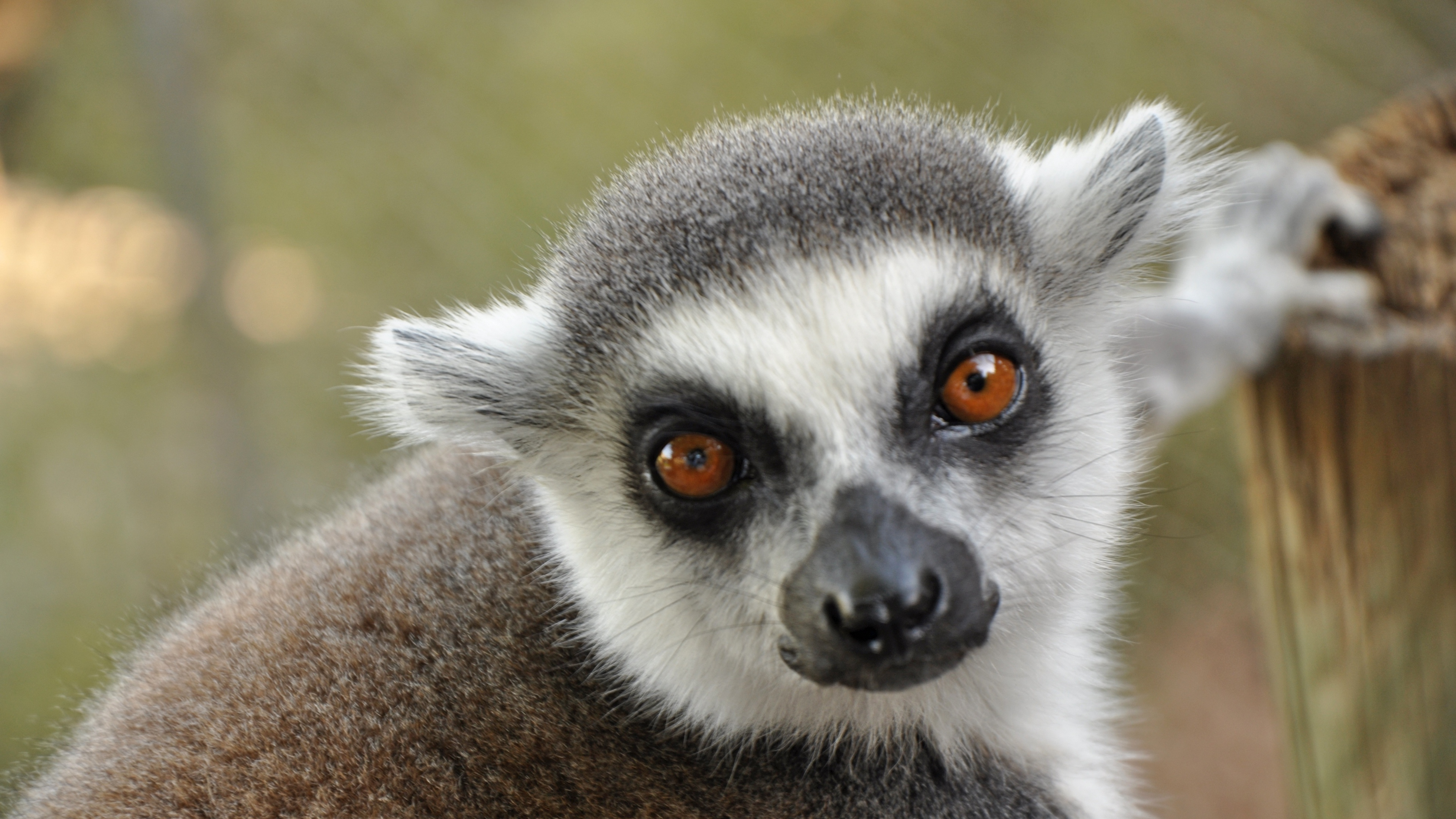 lemur muzzle eyes 4k 1542242730 - lemur, muzzle, eyes 4k - muzzle, lemur, Eyes