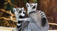 lemurs 1542238598 200x110 - Lemurs - lemurs wallpapers, hd-wallpapers, animals wallpapers, 4k-wallpapers