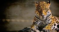 leopard 4k glowing eyes 1542238584 200x110 - Leopard 4k Glowing Eyes - leopard wallpapers, hd-wallpapers, animals wallpapers, 4k-wallpapers