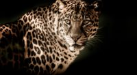 leopard 4k 1542238291 200x110 - Leopard 4k - leopard wallpapers, hd-wallpapers, animals wallpapers, 5k wallpapers, 4k-wallpapers