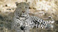 leopard africa shade rest predator 4k 1542242208 200x110 - leopard, africa, shade, rest, predator 4k - Shade, Leopard, Africa