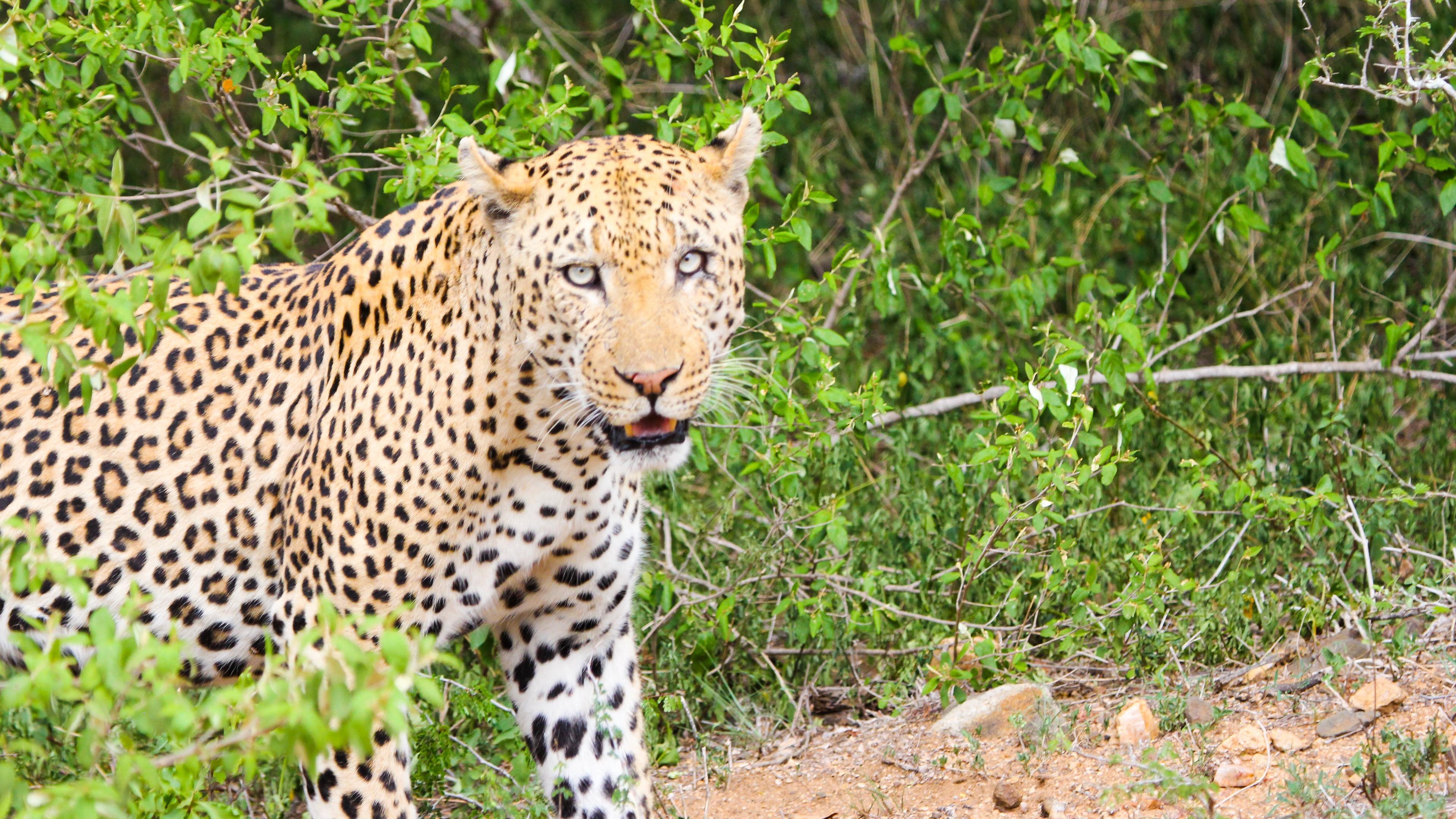 leopard cheetah predator look 4k 1542241586 - leopard, cheetah, predator, look 4k - Predator, Leopard, Cheetah