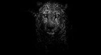 leopard dark monochrome 4k 1542239390 200x110 - Leopard Dark Monochrome 4k - monochrome wallpapers, leopard wallpapers, hd-wallpapers, dark wallpapers, black and white wallpapers, animals wallpapers, 4k-wallpapers