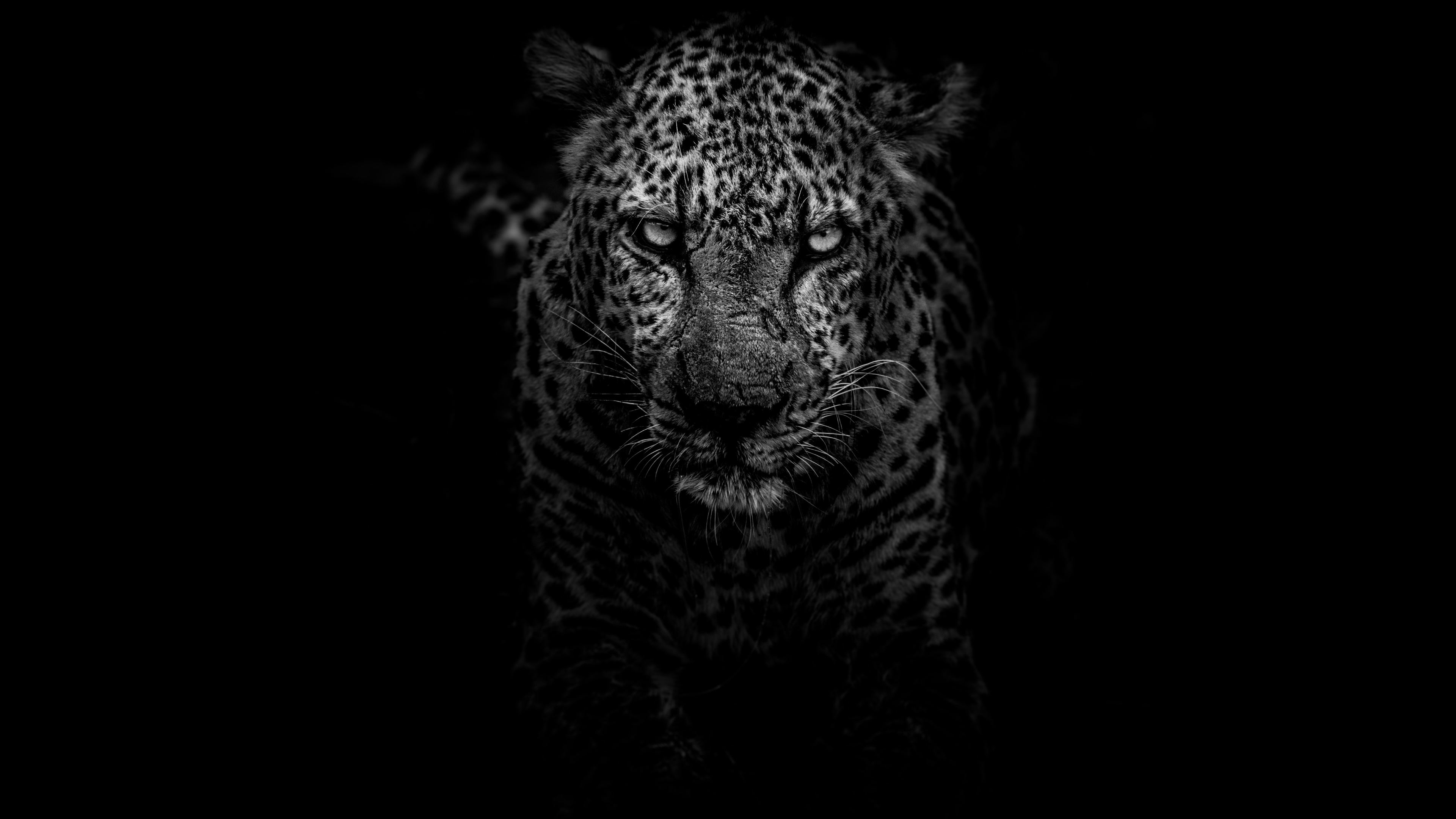 Wallpaper 4k Leopard Dark Monochrome 4k 4k Wallpapers