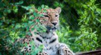 leopard muzzle predator sitting 4k 1542241676 200x110 - leopard, muzzle, predator, sitting 4k - Predator, muzzle, Leopard