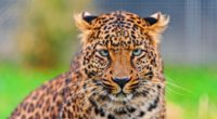 leopard predator face spotted big cat 4k 1542242818 200x110 - leopard, predator, face, spotted, big cat 4k - Predator, Leopard, Face