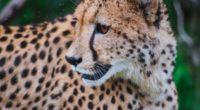 leopard predator muzzle big cat look 4k 1542242965 200x110 - leopard, predator, muzzle, big cat, look 4k - Predator, muzzle, Leopard
