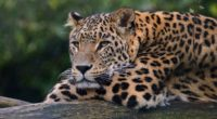 leopard ultra hd 4k 1542239102 200x110 - Leopard Ultra Hd 4k - leopard wallpapers, hd-wallpapers, animals wallpapers, 4k-wallpapers