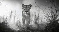 lion 4k black and white 1542238158 200x110 - Lion 4k Black And White - lion wallpapers, hd-wallpapers, black and white wallpapers, animals wallpapers, 4k-wallpapers