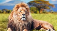 lion 4k 1542237657 200x110 - Lion 4k - lion wallpapers, king wallpapers, forest wallpapers, animals wallpapers