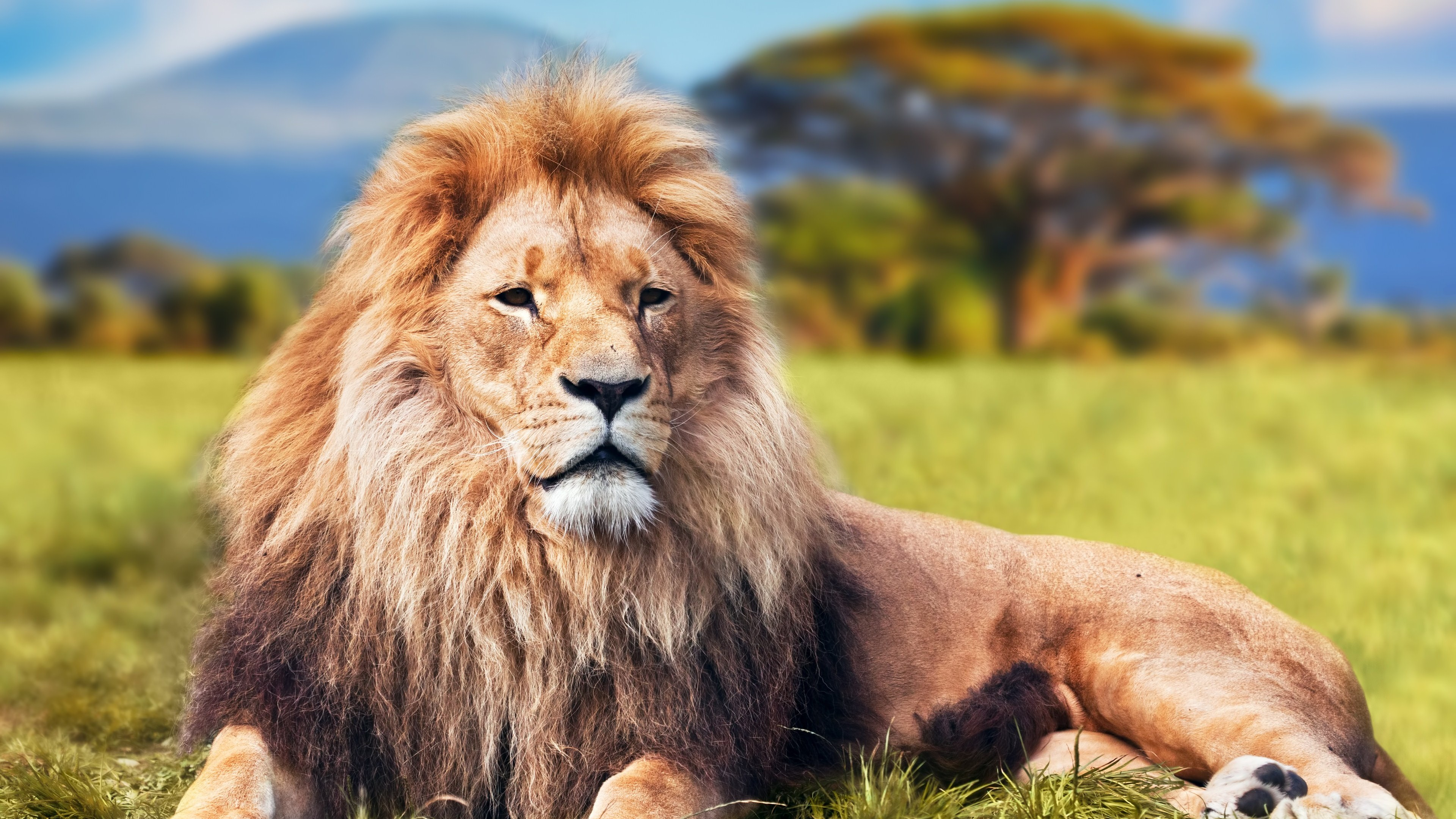 Wallpaper 4k Lion 4k Animals Wallpapers Forest Wallpapers King