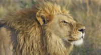 lion big cat 1542238574 200x110 - Lion Big Cat - lion wallpapers, hd-wallpapers, animals wallpapers, 4k-wallpapers