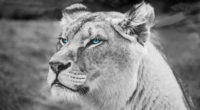 lion blue eyes monochrome 4k 1542238894 200x110 - Lion Blue Eyes Monochrome 4k - monochrome wallpapers, lion wallpapers, hd-wallpapers, blue eyes wallpapers, black and white wallpapers, animals wallpapers, 4k-wallpapers