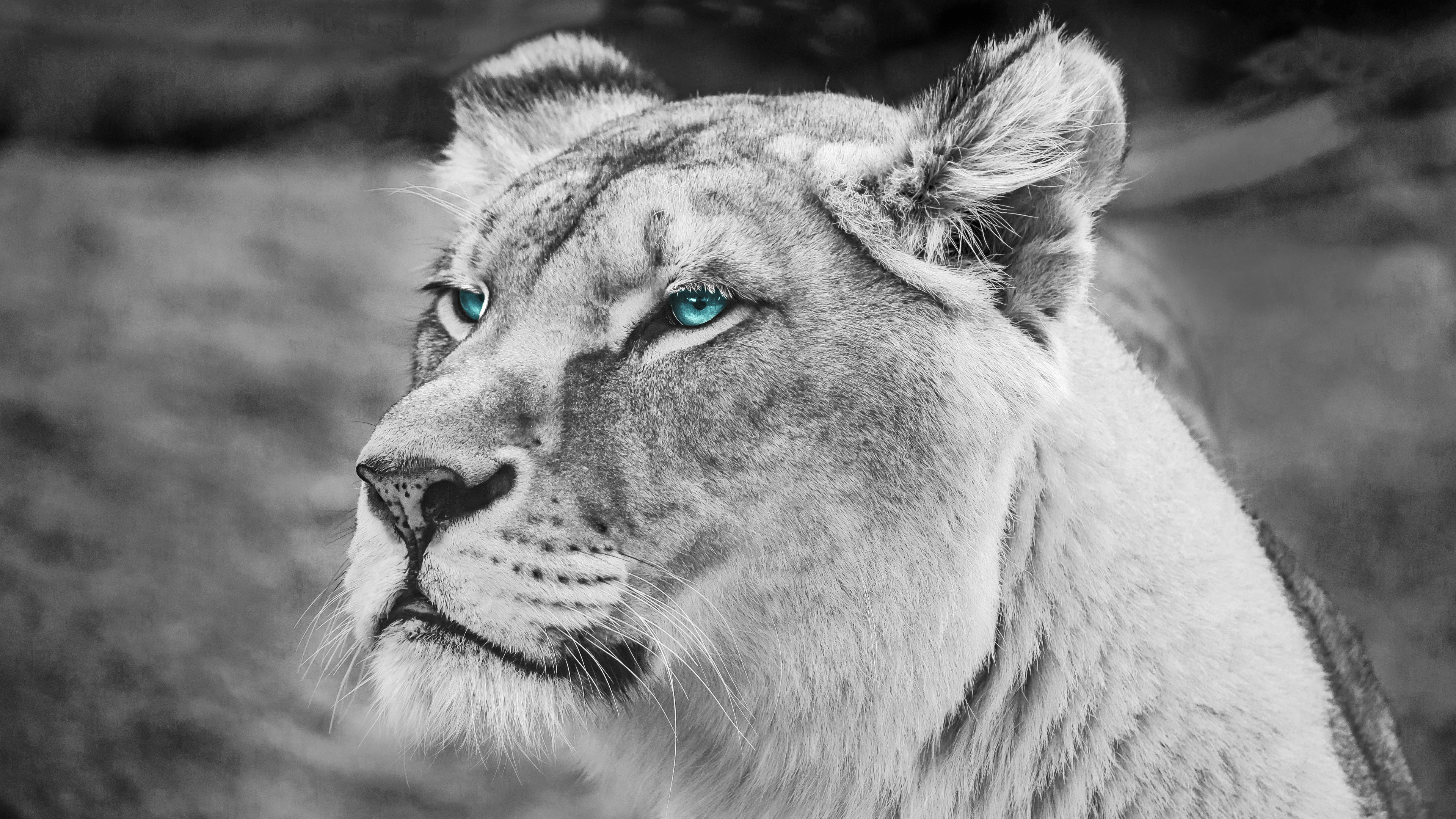 lion blue eyes monochrome 4k 1542238894 - Lion Blue Eyes Monochrome 4k - monochrome wallpapers, lion wallpapers, hd-wallpapers, blue eyes wallpapers, black and white wallpapers, animals wallpapers, 4k-wallpapers