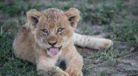 lion cub muzzle protruding tongue 4k 1542241489 200x110 - lion cub, muzzle, protruding tongue 4k - protruding tongue, muzzle, lion cub