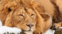 lion face lie predator 4k 1542242884 200x110 - lion, face, lie, predator 4k - Lion, lie, Face